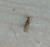 羽アリがたくさん出てきたんですが、これはシロアリでしょうか?