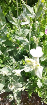 この シルバーリーフで白い花の植物は何でしょうか?