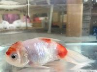 金魚の治療について教えてください! 体長4㎝、桜東錦(写真添付しました) 4,5日前から食欲不振で3日前から隔離、0.5%塩浴と絶食中 水温は夜22度で昼間は25から26度くらいになります。 加温はしていません。...