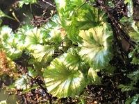 この草?苔?は何という種類でしょうか  色素が薄く葉はすけています 葉一枚は1㎝程 チドメグサかと思いましたが違う気もしています 詳しい方よろしくお願いします