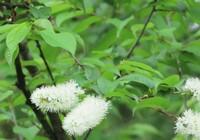 樹木の種類を教えて下さい 花がソーセージのような棒状になっているのが特徴かと思います