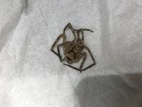 ベランダと寝室の間のサッシに蜘蛛が死んでいました。 けっこう大きかったのと、寝室では0歳の息子が寝ていたので恐怖です…。 この蜘蛛がどのような蜘蛛かお分かりになる方いらっしゃいますか ?