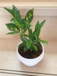ダイソーで買った小さな観葉植物ですが、どんどん成長してます。 これは、なんていう種類の観葉植物でしょうか?  窓際に置いていて、大きくなってきて 鉢を大きくしたりしていますが、これ以上大きくなると 窓際...
