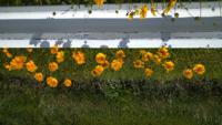 土手に咲いているこの花の名前と花言葉分かる方是非ご教示くださいまし
