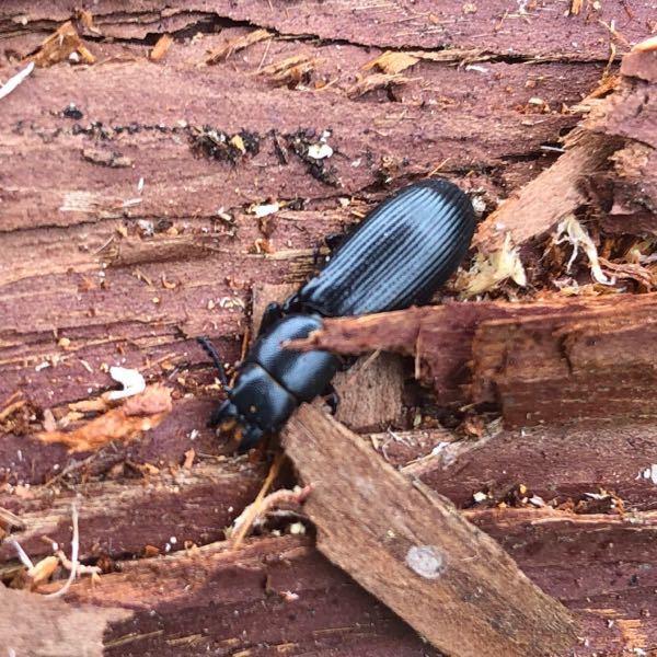 この昆虫の名前を教えてください、 2cm程です。 クワガタでしょうか?