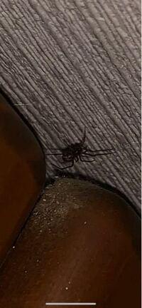 先ほど家の中で蜘蛛を見つけました。 この蜘蛛の種類を教えてください。。 調べてみたところハイイロゴケグモかマダラヒメグモのように見えるのですが… 画像わかりにくくてすみませんがよろしくお願いします