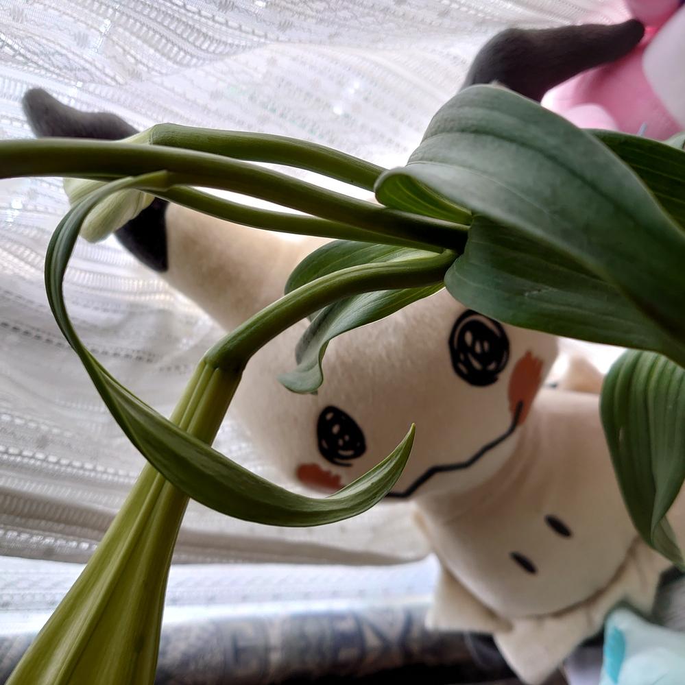 """白百合も花瓶に生けたのですが、葉っぱはこんなふうにクルクルになるものなんでしょうか… あと花瓶の花に日光は必要なのでしょうか 初めてお花を生けたので分からなくて…詳しい方回答お願 いします…( . .)"""""""