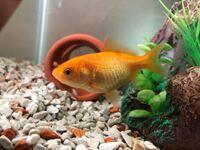 この金魚、オグサレ病じゃないですか?