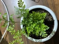 ダイソーで買った観葉植物なんですが、これはなんと言う名前ですか?
