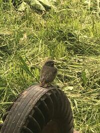 このヒナ鳥の名前はなんでしょうか? 多分、雄の親鳥は体は黒くて尻尾がオレンジ?ぽく 羽根は白の模様があります。 雌の親鳥は茶色です。