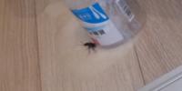 初めてゴキブリを見ました。 閲覧注意  ゴキブリ出て、 キッチンハイターと バスマジックリンと キュッキュト泡スプレーかけたんですが これは死んでますか?  この後の処理方法もお願いします