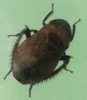 これは何という虫ですか?5ミリくらいの小さな虫でした。