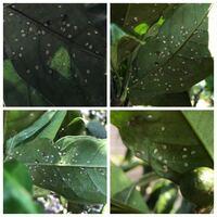 みかんの葉の裏に灰のような羽根の生えた白い虫(払うと飛んで再び葉の裏にとまります)とプツプツした丸いものがありますがこれはなんでしょうか? また、害虫の場合の対処方法も教えてください。