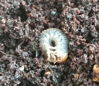 この幼虫はなんの幼虫ですか? 一センチくらいで ベランダの家庭菜園の土の中に何匹もいました。