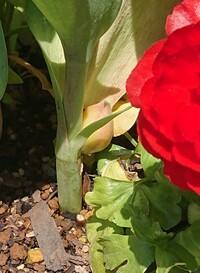チューリップの球根について。  地中ではなく、茎の途中に球根?ができたのですが、 これも秋に植えると芽を出すのでしょうか?