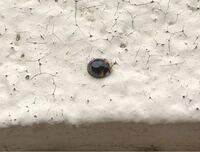 このてんとう虫は何の種類ですか? ナミテントウと体の大きさが全然違います。 3ミリ前後というところです。 蛹はナミテントウやナナホシのようなつるんとしたものです(ただ、それらより小さいです)。 蛹から捕まえてかえしたあと逃しましたが、捕まえた場所はナナホシテントウなどもいるアブラムシがたくさんついた雑草が茂った場所です。