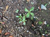 写真の植物の名前を教えてください。 松葉牡丹の類似種の葉っぱと似ている感じがしているのですが、、、  外来植物や、ただの雑草であれば引っこ抜きたいと思っております。