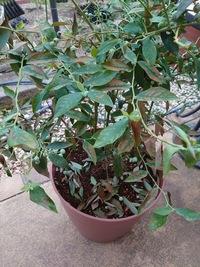 ブルーベリーの葉が全体的に茶色になり落葉しまし た。  2年目のブルーベリーについて教えて下さい。 3月に専用の培養土で植え替え、毎朝水やりもしていましたが、 今朝気がつくと葉が全体的に茶色になり、たくさん落葉してしまいました。  両隣に同じ2年目の同じ品種の鉢と、6年目位の違う品種の鉢が並べていたのですが、 この鉢だけがこうなってしまいました。  病気でしょうか? どう...