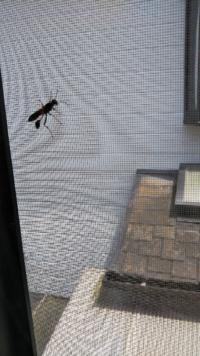 このハチ、なんていう蜂でしょうか?? なんかお尻が普通の蜂となんか違うような…と思い投稿しました。
