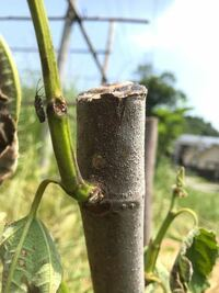 昨年植えたいちじくのカドタが、急に葉がしおれ、黒っぽい虫がいくつかついています。 写真の中では左の緑の枝に一匹ついています。 この症状はなんでしょうか。この虫によるものですか?