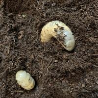カブトムシの蛹室を誤ってケースごと落としてしまい、壊してしまいました。 まだ自力で土の中に戻っていくのですが、もう一度ケースに土を詰めて戻しても再度蛹室を作れるでしょうか? それも と人工蛹室を作っ...