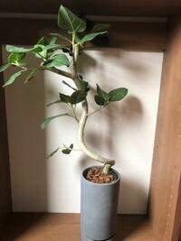 貰い物の観葉植物ですが、この植物の名前が分かる方詳しい方是非ご教授くださいませ。