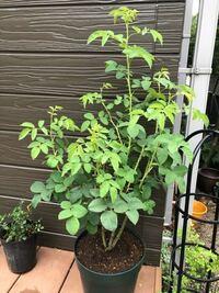 一季咲きのシュラブ 《フェリシテパルマンティエ》です。  今年最後の花が終わったので8号に鉢増しをしましたが、剪定はどうでしょう。 混み合う葉を何枚かカットしましたが、もう少し整理してもいいでしょうか。...