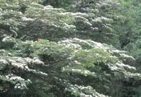 里山の小道で見つけた花木です。大きな木から張り出した枝の葉の上面一杯に白い花が咲いていました。遠目には大きな「こぶしの花のような」花弁に見えました。 これは何の木(花)でしょうか。