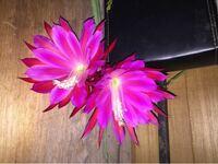 添付写真の植物の名称をご教示下さい。 玄関にある観葉植物が突然花を咲かせました。  とても妖艶です。  観葉植物に関して疎いので、ご多用中誠に恐れ入りますが、御回答賜れば幸甚です。
