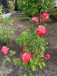バラの名前を知りたいです。我が家では数10種類のバラがあるのですが、5、6年経ったら忘れてしまいました。画像を添付しましたので詳しい方よろしくお願いします。