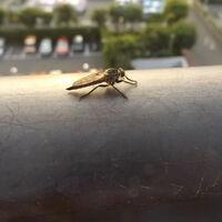 """トンボにも少し似ている""""この虫""""は、なんという名前の虫でしょうか???  ベランダにとまっており、体長は2㎝くらいでした。  よろしくお願いいたします。"""