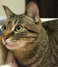 キジトラ猫の毛色についてです。 キジトラの色を一色で表すとしたら、何色だと思いますか? 私は茶色だと思うのですが、彼氏は黒だ!と言うのです。 くだらない質問ですが、回答お待ちしてます!!
