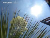 白い花の熱帯性植物の名前を教えてください、 岐阜県美濃加茂市で、 撮影20200608