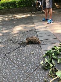 この動物はたぬきでしょうか? 都内の公園です。
