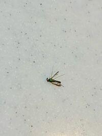 閲覧注意 これはなんという虫でしょうか…。 体がギラギラした緑色で、眼が赤いです。 ハネは黒っぽいです。 大きさは蚊と同じくらいです。  蚊だと思ってやっつけたら見たことがない虫だったので気になりました。手 に血っぽいものがついたので、誰かの血を吸ったのかなとも思ったのですが… よろしくお願いします。