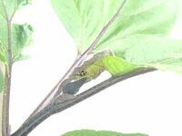 家庭菜園でナスの葉っぱついていたこのてんとう虫?は益虫でしょうか?