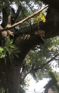 15年になるミモザがあります。幹の枝の切り口にカイガラムシとは違う硬くて白いものが付いています。 毎年カイガラムシの駆除はしていますがそれとは明らかに違う感じがします。 ヘラで剥がす と木の一部みたいな感じです。 きのこの一種だとしたら養分を吸われているような気もするし、よろしくお願いします。