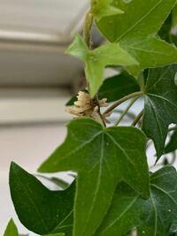 観葉植物に白いつぶつぶがついてるんですけどこれってなんですか?植物に影響はないですか?