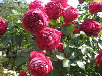 バラの品種名に詳しい方にお聞きします。画像のバラを5,6年前に買って植え毎年よく咲きますが,品種名の札を紛失してしまい分かりません。教えていただけたらありがたいです。