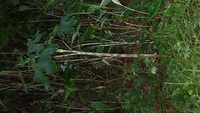 森で見つけたのですがこの写真中央の茎がしましまの草の名前は何ですか?