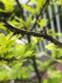 朝倉山椒についていたものです。 これはアブラムシでしょうか?