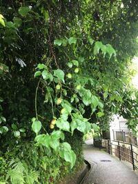 この木の実は何の木でしょうか? 散歩道に実のなった木がありました。 何かわかる方教えてください。