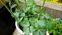 西洋オダマキを植えてある鉢から出てきました。  これ、何の葉でしょう?