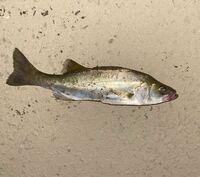 新河岸川で夜釣ったのですが、この魚は何という魚でしょう?サイズは30センチ程です。