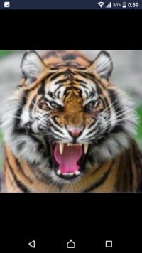 人、動物に絶対に攻撃しないで、甘えん坊なトラなら飼いたいですか?