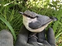 こんばんわ^_^ 今朝山小屋の前で 野鳥のひな鳥を見たのですが この雛鳥はなんていう鳥なのでしょうか?
