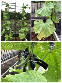 きゅうりのプランター栽培について。 今年初めてプランター栽培を始めまして、友人が種から育てた苗を2株もらい植えて1ヶ月経ったのですが、6節目から雌花がさいて5cmくらいから成長せずそのまま萎?んでまい大きくならないのと、最近になって葉っぱが全体的に黄緑になり下葉は黄色くなっています...。肥料はマグァンプ1回と友人にこの話をしたらリキダス?してみて言われたので土曜日にしました。ちなみに友人宅...