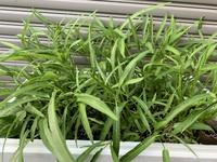 空芯菜収穫。  空芯菜の収穫ってどれくらいでしょうか? 今、20センチくらいですが、、、  もっと大きくなりますか?  葉がまだ小さいような気がします。  一度だけ肥料は、やりま した。