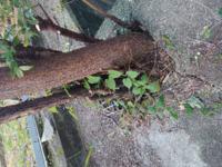排水溝から突き出た木を除去したい もし個人でする場合は、 ラウンドアップなどを かけてから、枯らして、 除去するのが一般的ですか?