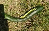 家庭菜園のキュウリが食べられてしまいました。。食べ方がカラスっぽくない気がするのですが、何の動物かわかりますか?